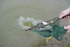 Forel vissen in Appeltern